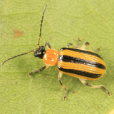 Striped Cucumber Beetle - Acalymma vittatum