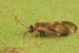Hairy-winged Barklice - Amphipsocidae