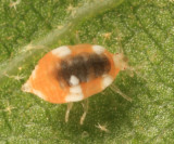 Dustywing larva - Coniopterygidae
