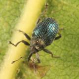 Ceutorhynchus erysimi