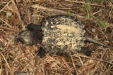 baby Common Snapping Turtle - Chelydra serpentina