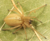 Prowling Spiders - Miturgidae