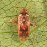 Pinalitus approximatus
