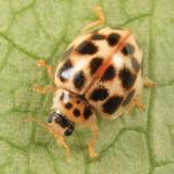 Twenty-Spotted Lady Beetle - Psyllobora vigintimaculata