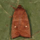 9934 - Franclemont's Sallow - Eupsilia cirripalea