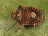 Dendrocoris humeralis