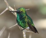 Blue-tailed Emerald - Chlorostilbon mellisugus