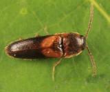 Ampedus areolatus