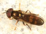 Platycheirus rosarum
