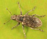 Sweetclover weevil - Sitona cylindricollis