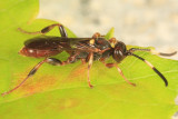 Cratichneumon annulatipes