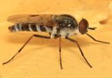 Ozodiceromyia notata