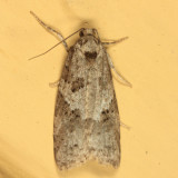 3567 - Gray Tortrix - Cnephasia stephensiana