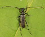 Idiopidonia pedalis