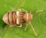 Criomorphus inconspicuus