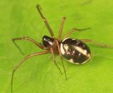 Microlinyphia sp.