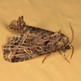 9056 - Waterlily Moth - Homophoberia cristata