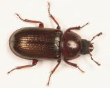 Oak Stag Beetle - Platycerus virescens