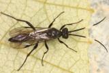 Cubocephalus sp.