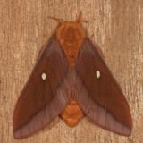 7723 - Northern Pink-striped Oakworm Moth - Anisota virginiensis