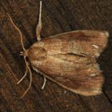 4659 - Packardia geminata