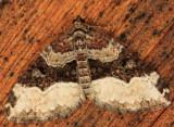 7400.1 - Sharp-angled Carpet - Euphyia intermediata