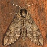 7787 - Waved Sphinx - Ceratomia undulosa