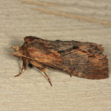 7958 - Gray-patched Prominent - Dasylophia thyatiroides