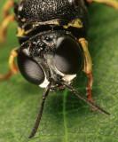 Anacrabro ocellatus