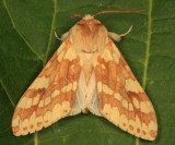 8214 - Spotted Tussock Moth - Lophocampa maculata