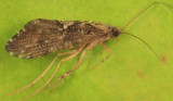 Rhyacophila fuscula