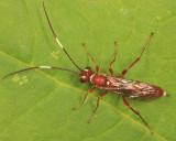 Pseudoplatylabus sp.