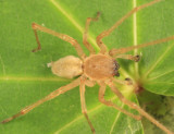 Cheiracanthium inclusum (male)