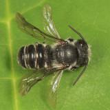 Megachile campanulae