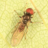 Big-headed Flies - Pipunculidae