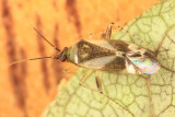 Plagiognathus sp.
