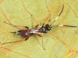 Oresbius sp.