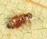 Deraeocoris nubilus