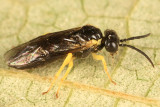 Common Sawflies - subfamily Selandriinae