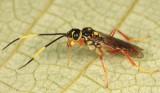 Wasps - Trigonalidae