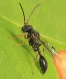 Wasps - Heloridae