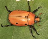 Grapevine Beetle - Pelidnota punctata