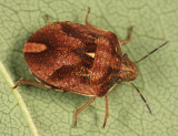 Shield-Backed Bugs - Scutelleridae