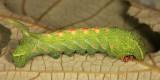 7885 - Virginia Creeper Sphinx - Darapsa myron (fourth instar)