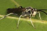 Coelichneumon azotus (male)