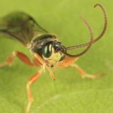 Chorinaeus aequalis
