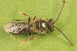 Lasioglossum atwoodi