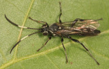 Coelichneumon vitalis