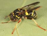 Spilomyia sayi