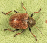 Western Grape Rootworm - Bromius obscurus